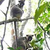 Lumholtz's Tree-Kangaroo female with young joey at heel