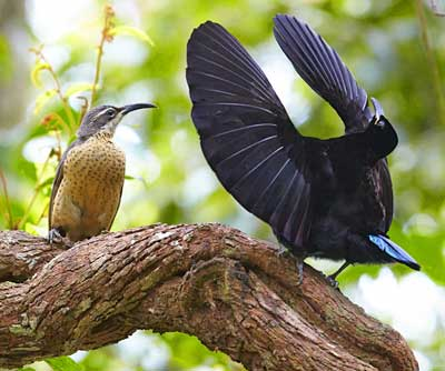 Victoria's Riflebird in courtship display